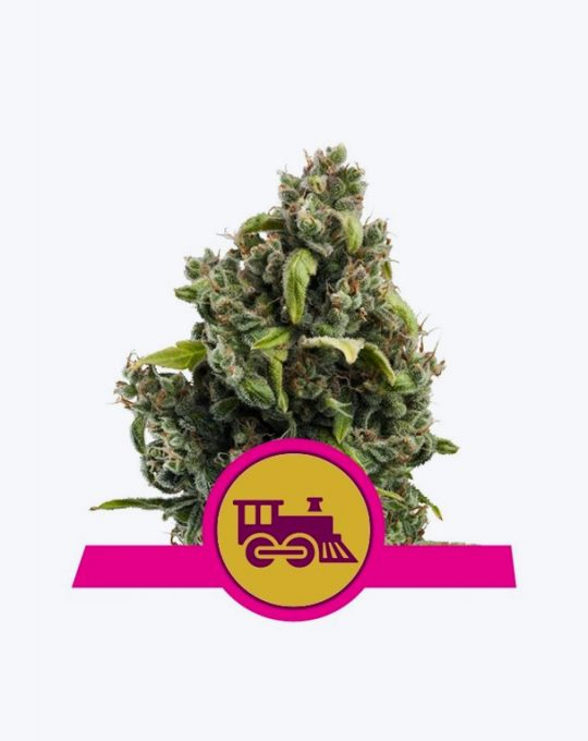 CANDY-KUSH-EXPRESS-(FAST-FLOWERING)-5-ZADEN