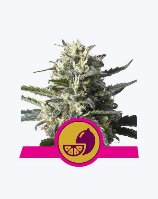 LEMON-SHINING-SILVER-HAZE-5-ZADEN