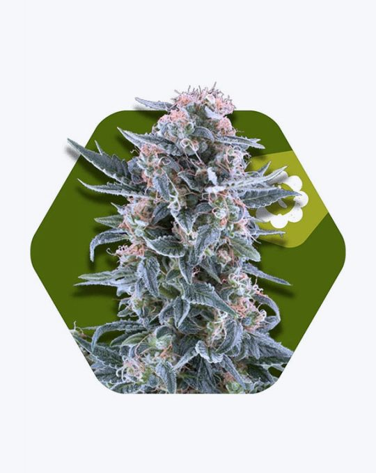 BLUEBERRY-AUTOFLOWERING