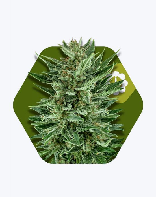 WHITE-CHEESE-AUTOFLOWERING