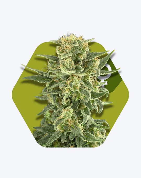WHITE-CHEESE-FAST-FLOWERING