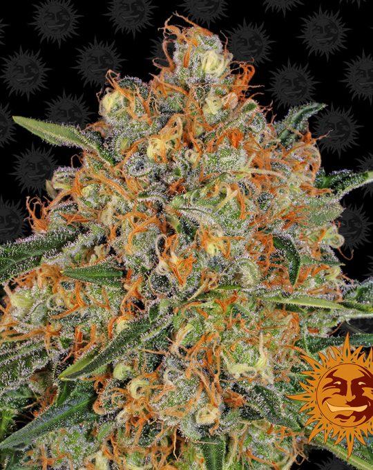 large_orange-sherbert_1_956518