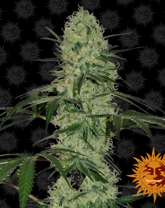 large_tangerine-dream-auto_1_248694