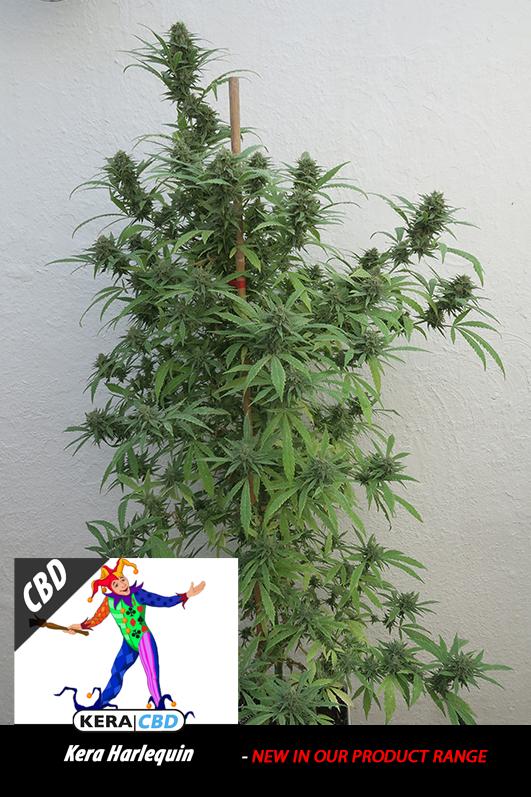 harlequinplant