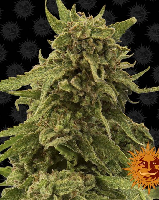 large_cbd-critical-cure_1_341038