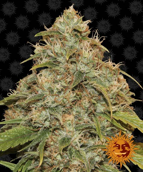 cbd-lemon-potion-auto_circle_new_11_910808bf-cbd-lemon-potion-auto-tall