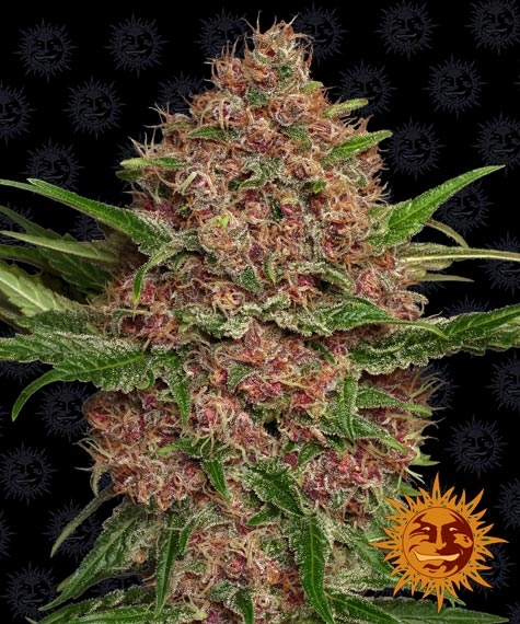 purple-punch-auto_circle_new_11_842087purple-punch-auto_tall